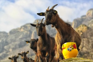 3 acceptin the vase goats-2 prilep